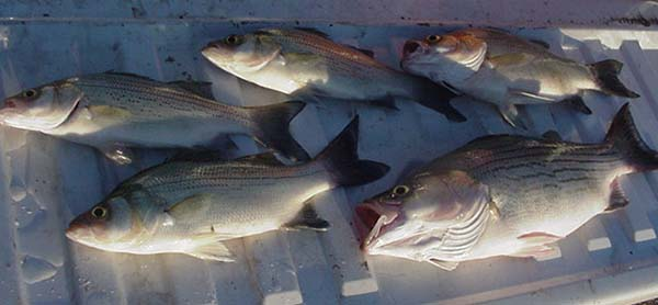 Kansas fishing report from anglers for september for Cheney lake fishing report