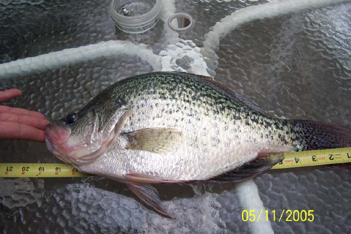 Kansas fishing report reports from anglers april june 2005 for Kansas fish records